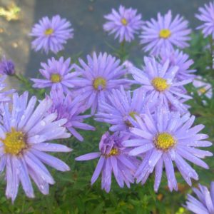 Aster ageratoides Asran – aster